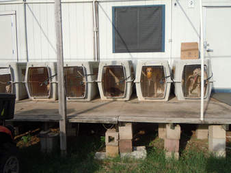 Greyhounds at blood bank in crates