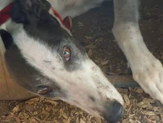 Greyhound at blood bank