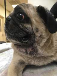 Rescued pug at vet