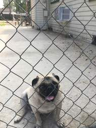 Neglected pug behind fence