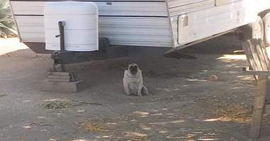 Neglected pug near trailer
