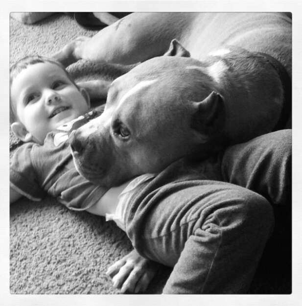 cat loving pit bull is adopted