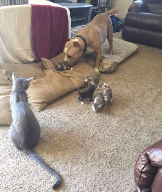 pit bull loves cats