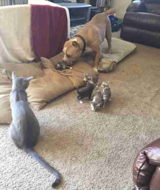 pit bull loves cats