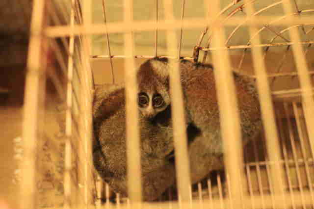 Smuggled slow lorises