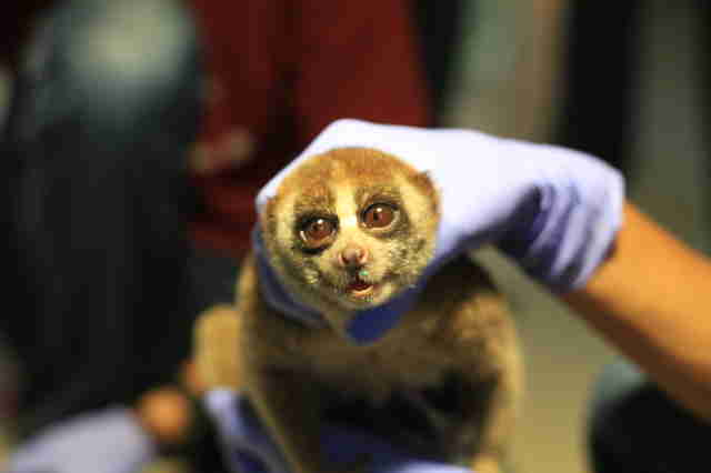 Slow loris saved from smuggler