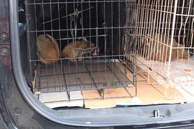 Slow lorises saved from traffickers
