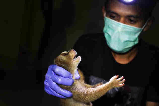 Slow loris saved