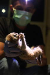 Slow loris rescued from smuggler
