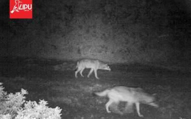 Wolves outside Rome