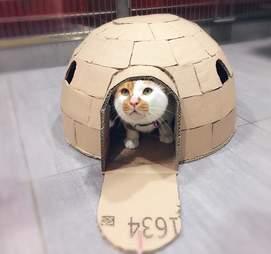 Cat in cardboard igloo