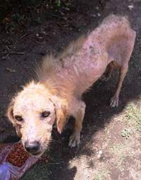 Emaciated street dog