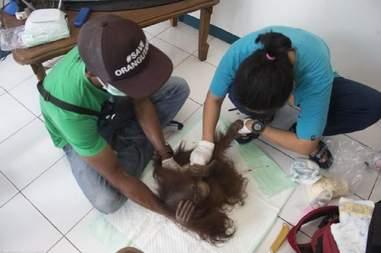 orangutan rescue IAR