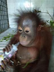 Gakkum orangutan IAR