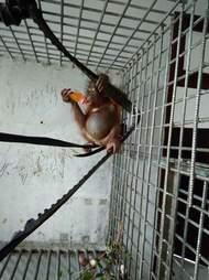 Korwas orangutan IAR