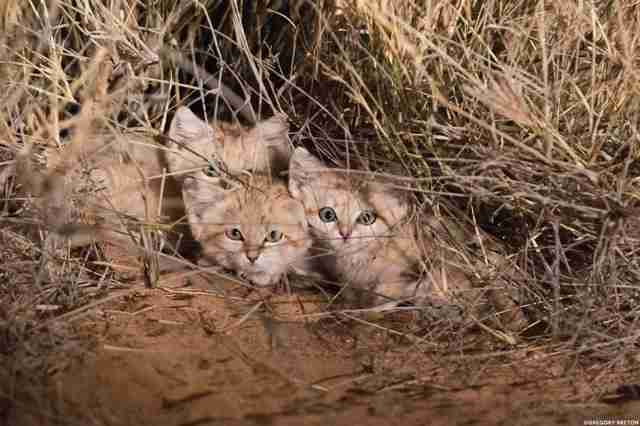 Sand cat kittens in the wild