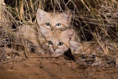 wild sand kittens north africa