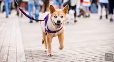 dog walking along boardwalk