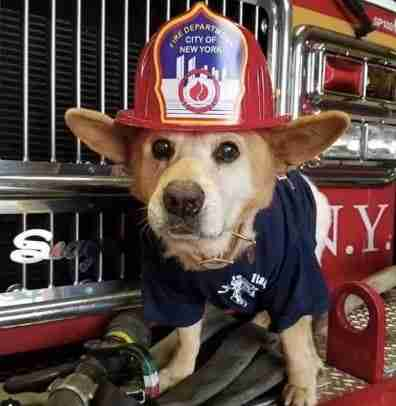 dog in fireman's hat