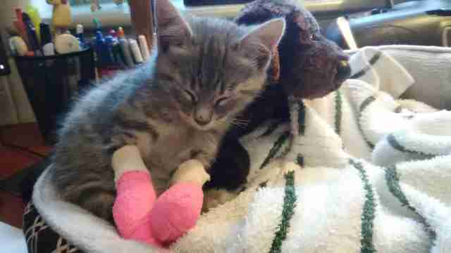 Rescued kitten sleeping with stuffed dog