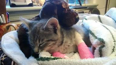 Rescued stray kitten with stuffed animal