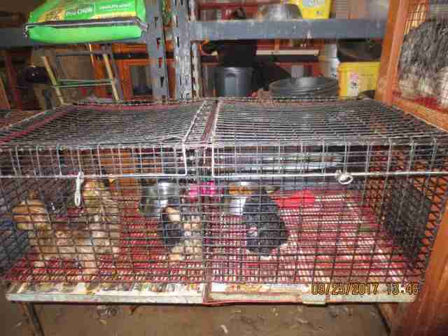 Caged dogs inside puppy mill