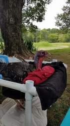 Rescued turkey in homemade wheelchair