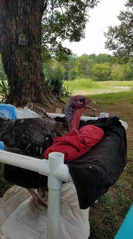Rescued turkey in homemade wheelchair