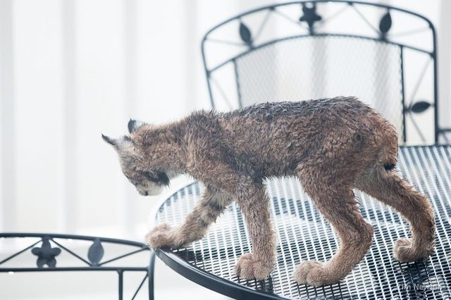 Man Wakes Up To Find A Family Of Lynx Playing On His Porch