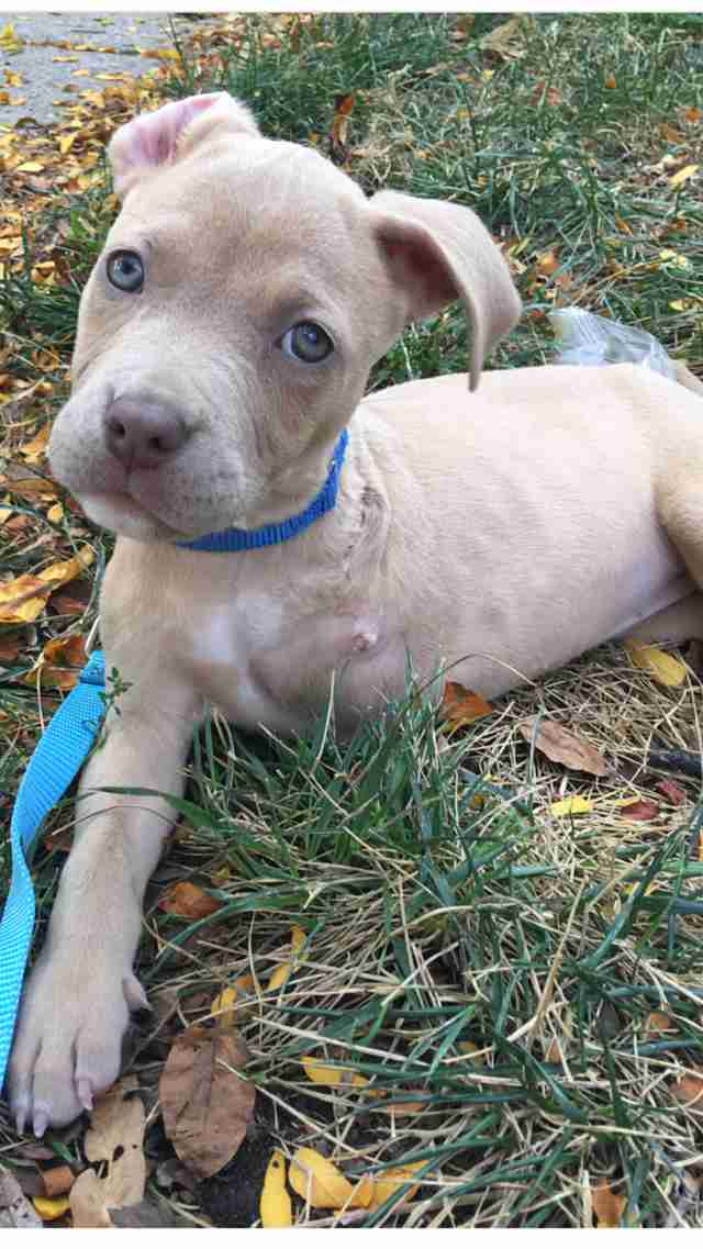 Three Legged Pit Bull Puppy Was Exactly What Her Mom Needed The Dodo