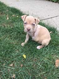 3 legged pit bull puppy