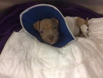 3 legged puppy surgery
