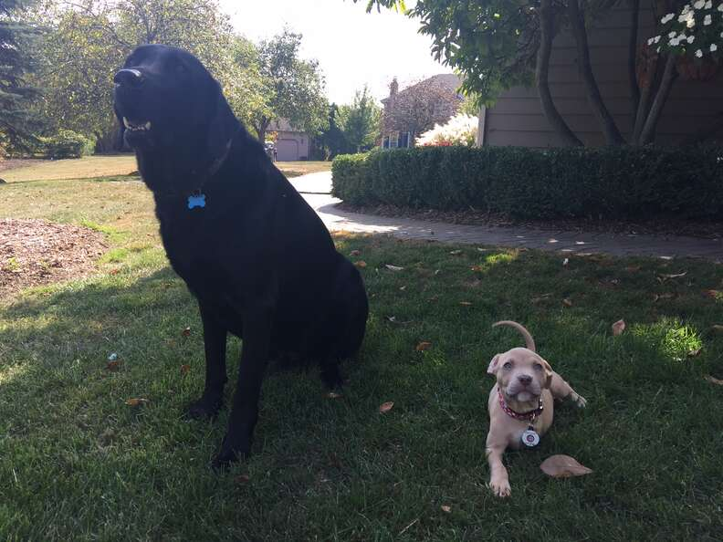 family adopts 3 legged puppies