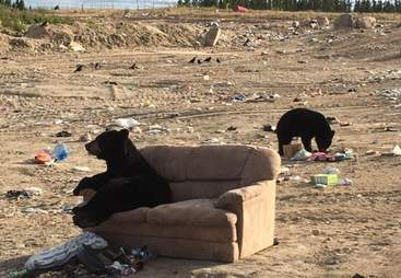 Bear sitting on couch in Manitoba dump