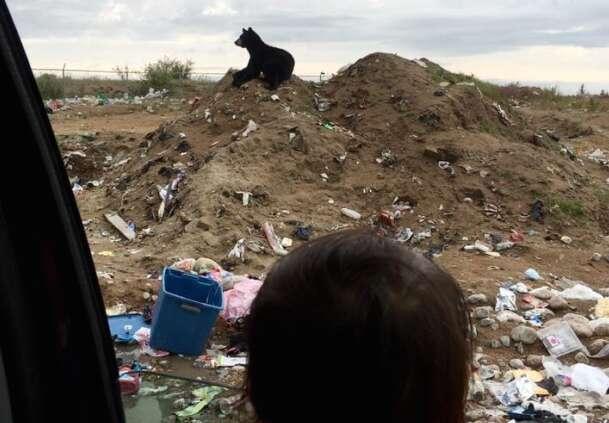 Bear at dump in Manitoba