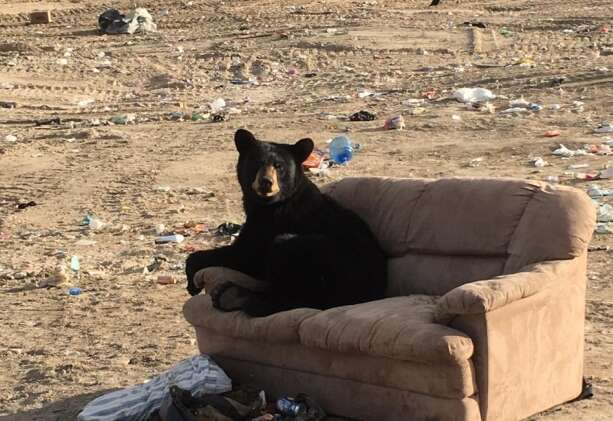 Bear on sofa at dump in Manitoba