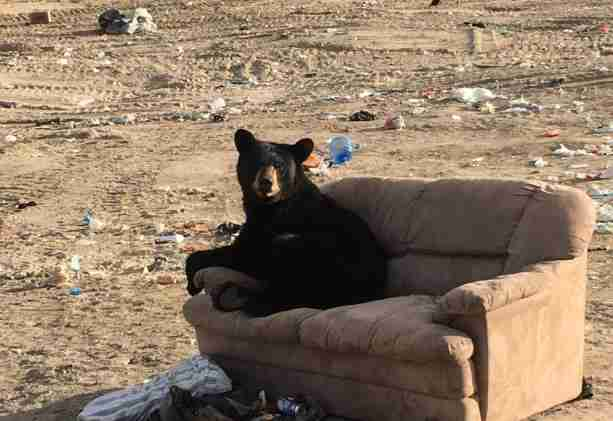 Bear on sofa at dump in Manitoba