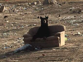 Bear sitting on couch at dump in Canada
