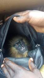 Mandrill saved from wildlife traffickers
