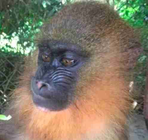 Mandrill seized from traffickers in Cameroon