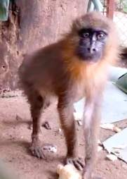Mandrill seized from traffickers