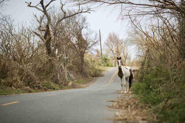 Wild horse on road after hurricane