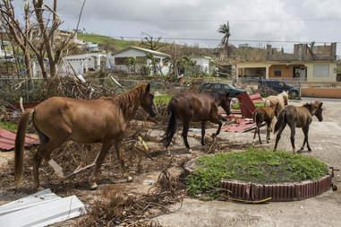 Wild horses on island after hurricane