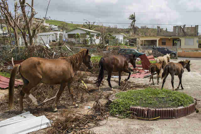 Wild horses on island after hurricane