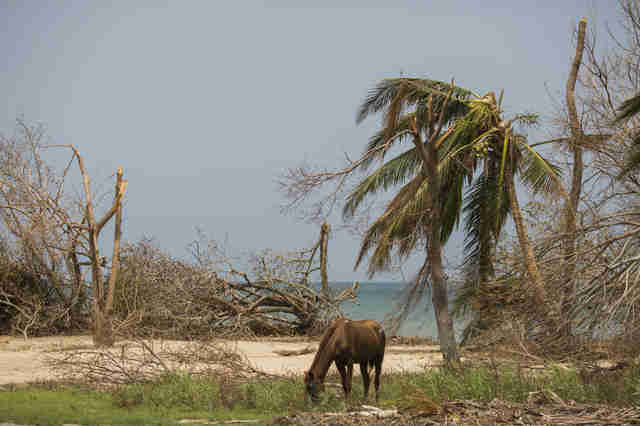 Horse grazing on land wrecked by hurricane