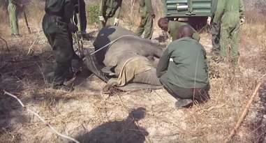 Men dragging sedated elephant toward trailer
