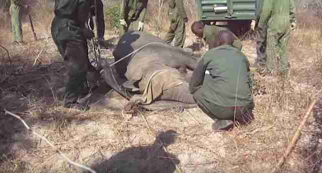 Men dragging sedated elephant toward trailer