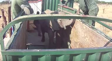 Captured wild elephant in truck