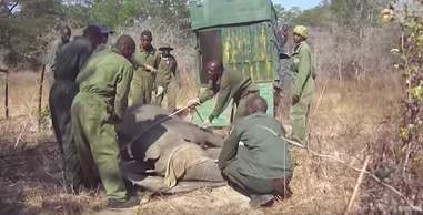 Men surrounding sedated elephant