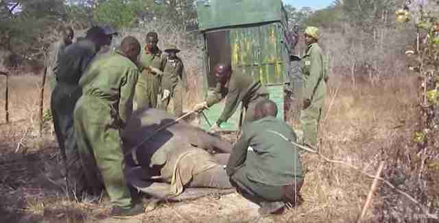 Men surrounding sedated elephant